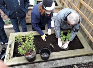 Planteringsarbete på Sofiagården i Stockholm